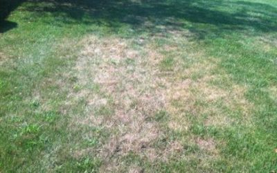 Controlling Grubs in Your Lawn