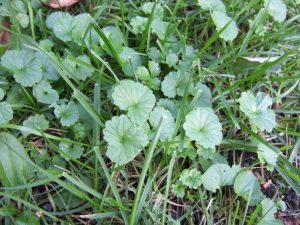 Lawn Weeds During Spring Time